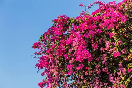 Blossoming bougainvillea during sunny day over blue sky,