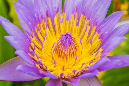 Violet Lotus Flower Closeup photo