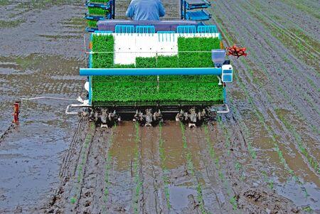 在日本种植米饭