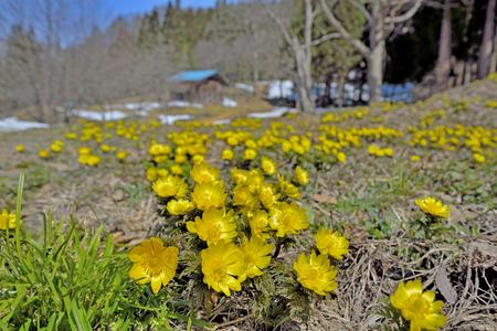 Spring Adonis Foto de archivo - 89252005