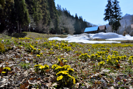 Primavera Adonis Foto de archivo - 89252013