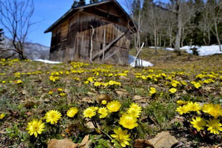 Spring Adonis Foto de archivo - 89252008