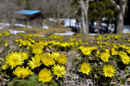Spring Adonis Stock Photo