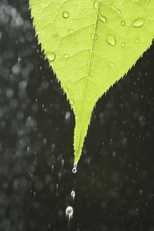 Young leaves and water drop