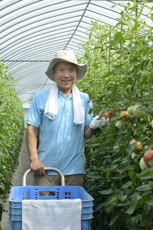 A smiling senior who harvests tomatoes 写真素材