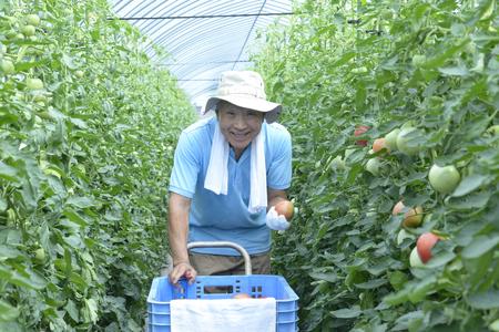 A smiling senior who harvests tomatoes Banco de Imagens