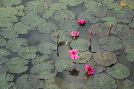 pink lotus: Pink Lotus in Pond Stock Photo