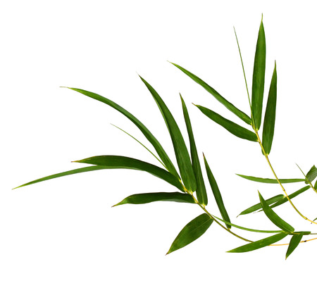 Bamboo leaves isolated on white ..