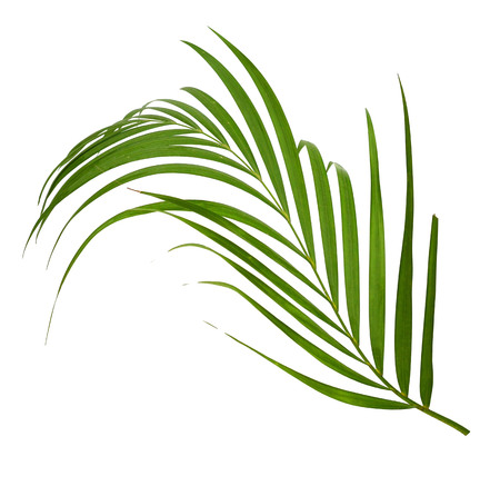 interleaved: Leaves of palm tree on white background Stock Photo
