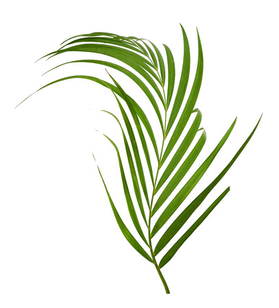 interleaved: palm leaves isolated on white background Stock Photo