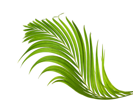 interleaved: Green leaf of palm tree isolated on white background