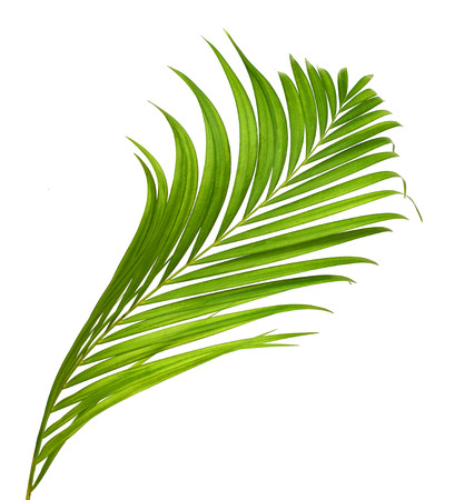 interleaved: Green palm leaves isolated on white background