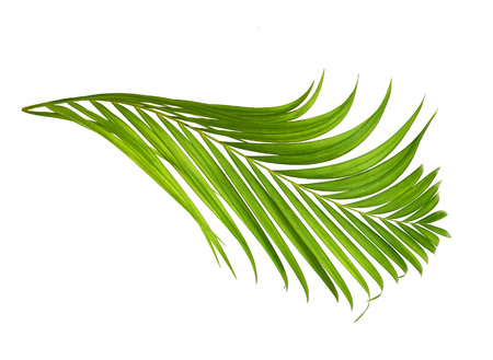 interleaved: Coconut leaf isolated on white background