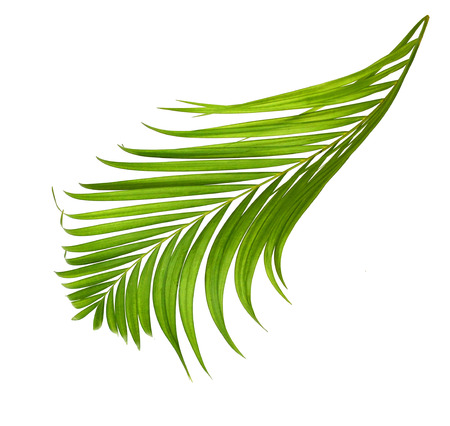 Leaf of coconut palm tree isolated on white background