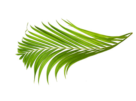 interleaved: Leaf of coconut palm tree isolated on white background