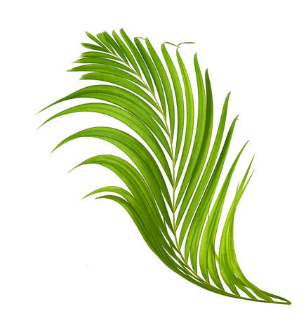 interleaved: A coconut leaf on white background. Stock Photo