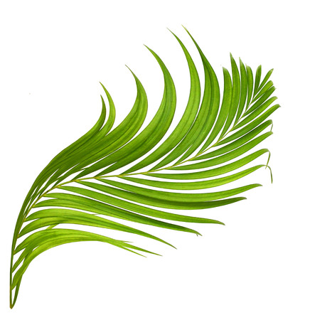 interleaved: Palm leaves isolated on white beautiful