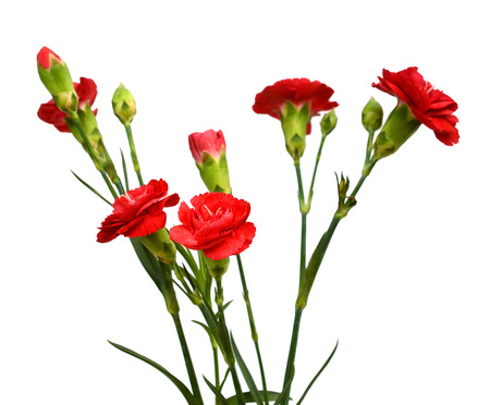 Red carnation flowers on white background