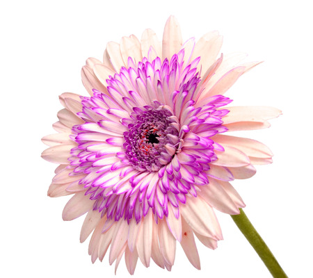 Barberton daisy: Gerbera jamesonii (Compositae) isolated on white background with clipping path