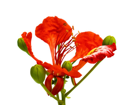 The pride of Barbados roses, Isolated on white background