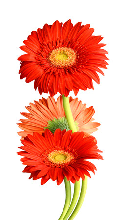Flowers are red on a white background. Luxuriously designed natural illustrations with flowering flowers
