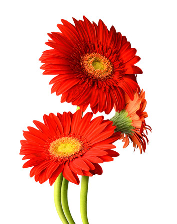luxuriously: Flowers are red on a white background. Luxuriously designed natural illustrations with flowering flowers