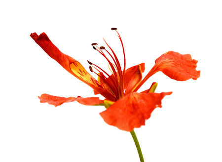 fragrant: Delonix regia or Krishnachura Stock Photo
