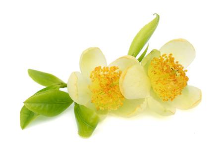 tea leaves, flowers, leaves on white background Stock Photo
