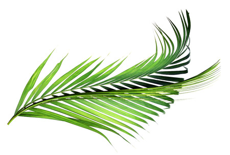 summer concept with green palm leaf from tropical. frond floral leaves isolated on white background. flat lay, top view Stock Photo