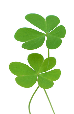 Green four leaf clover, clipping path included