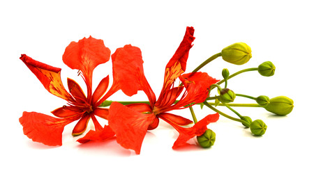 Closeup of Pride of Barbados, Isolated on white Stockfoto