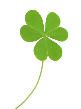 Green clover isolated on white background.
