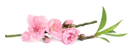 Tak met roze bloesems op wit wordt geïsoleerd