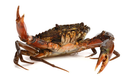 Live Mud Crab - Scylla serrata