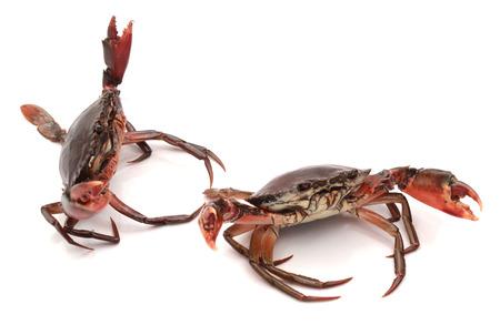Live Mud Crab - Scylla serrata