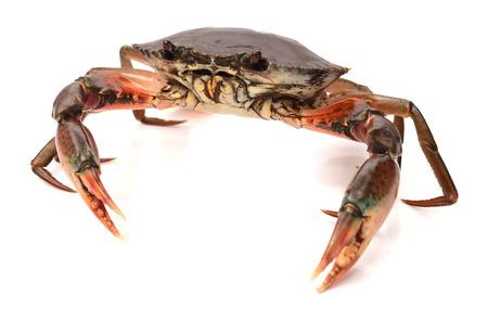 Scylla serrata. Big Crab Crabs on a white background. Raw materials for seafood restaurants concept. 版權商用圖片
