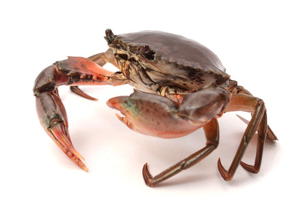 Scylla serrata. Big Crab Crabs on a white background. Raw materials for seafood restaurants concept. Stok Fotoğraf