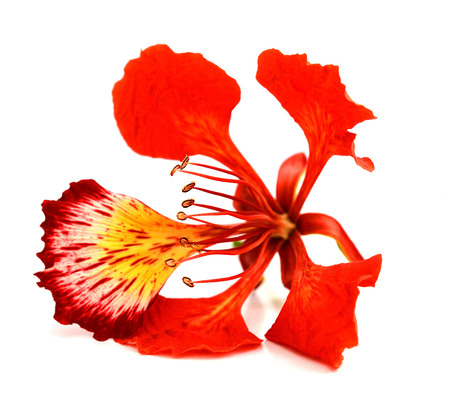 Closeup set Pride of Barbados, Isolated on white background Фото со стока
