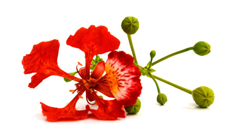 Closeup Pride of Barbados, Isolated on white Imagens