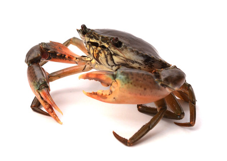 Raw big sea crab on white background, Seafood
