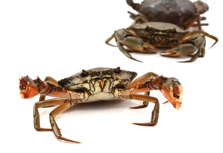 Crab on white background. Fresh seafood. Serrated mud crab.