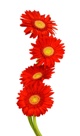 gerber flower isolated on white background Banque d'images - 118986689