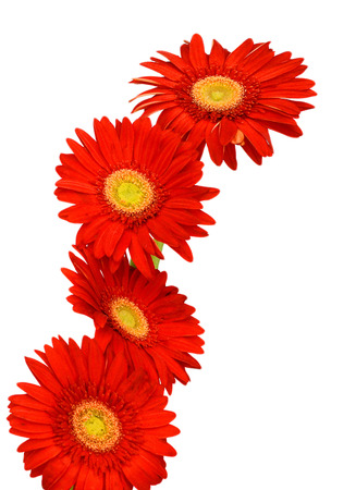 gerber flower isolated on white background Banque d'images - 118986690