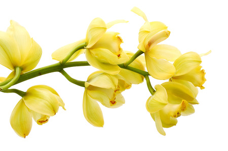 tiger orchid isolated on white background Banque d'images - 118986866