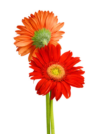 gerber flower isolated on white background Banque d'images - 118986921