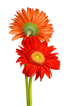 gerber flower isolated on white background Banque d'images - 118986922