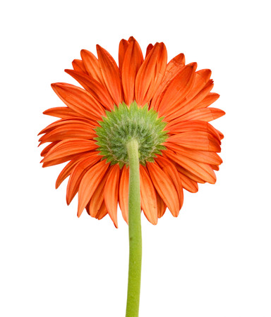 gerber flower isolated on white background Banque d'images - 118986930