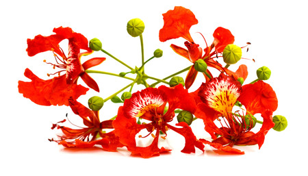the Flamboyant flower background Banque d'images - 118987304