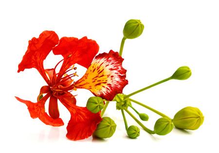 Flam-boyant flower Banque d'images - 118987410