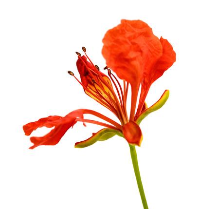 Flam-boyant flower isolated Banque d'images - 118987412